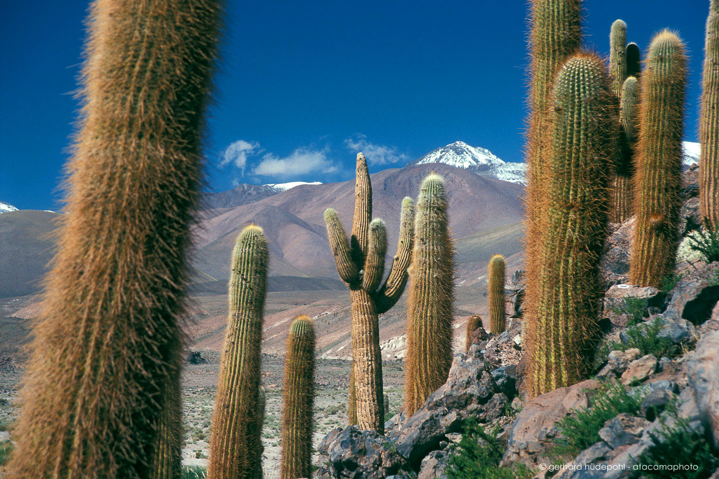 atacama desert cactus photos different species of chilean