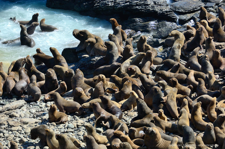 южные морские котики фото