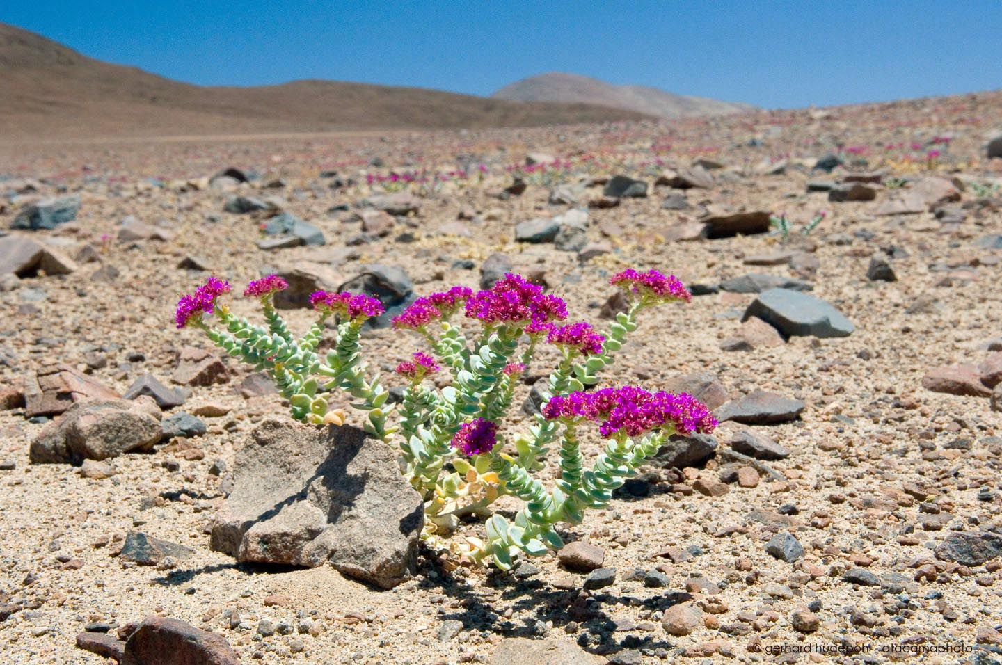 atacama desert flowers photo gallery of endemic flora of north chile