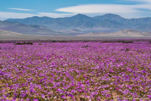 Atacama Desierto florido 2015, massive appearance of Pata de Guanaco flowers