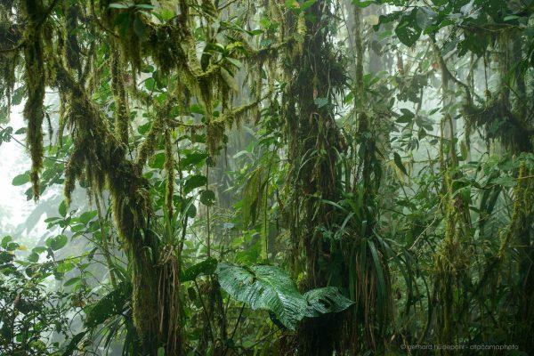 Dense cloud forest, Ecuador
