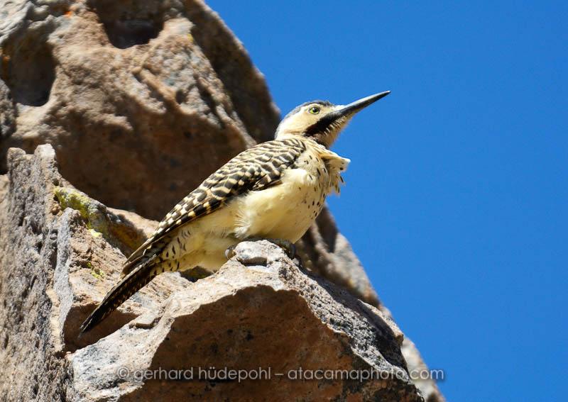 Andean Flicker A Woodpecker Living In The Altiplano Of Atacama Desert