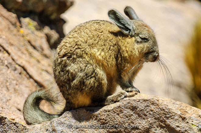 mountain viscacha wildlife of the andes and altiplano atacamaphoto. Black Bedroom Furniture Sets. Home Design Ideas