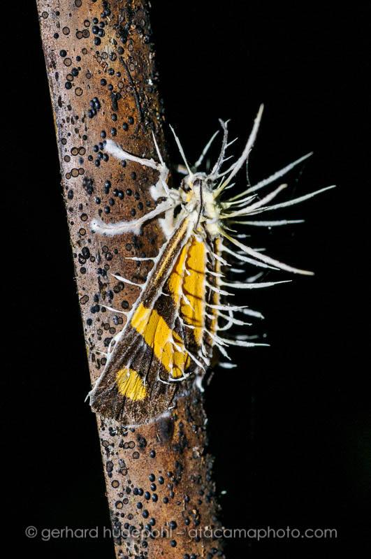 Butterfly, killed by a Cordyceps fungus, Madidi National Park, Bolivia