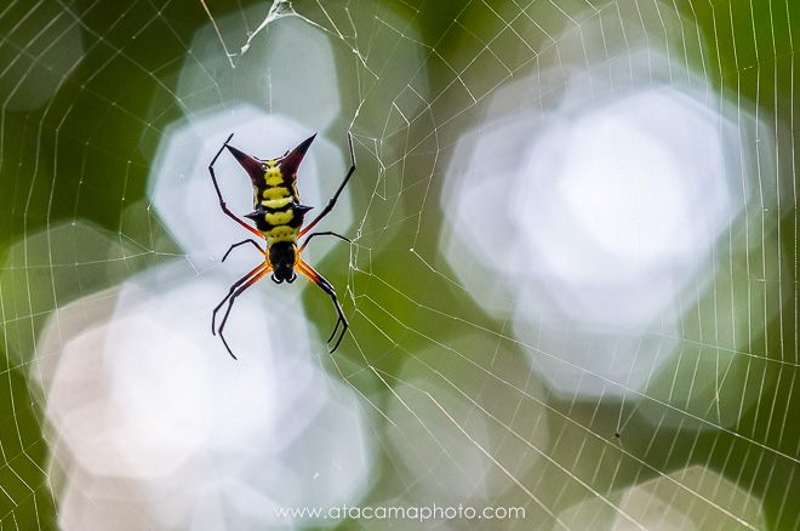 Spiny Orbweaver Spider (Micrathena raimondi), Madidi National Park Bolivia