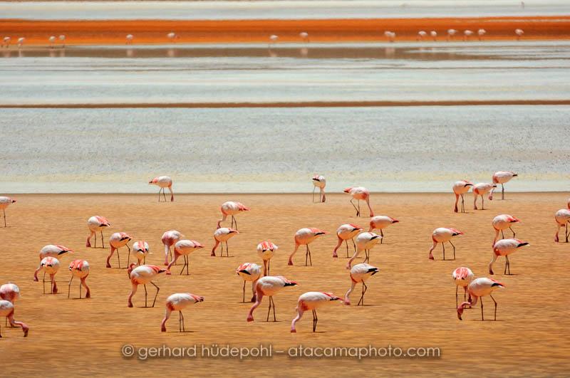 James's or Puna Flamingos at Laguna Colorada, Bolivia
