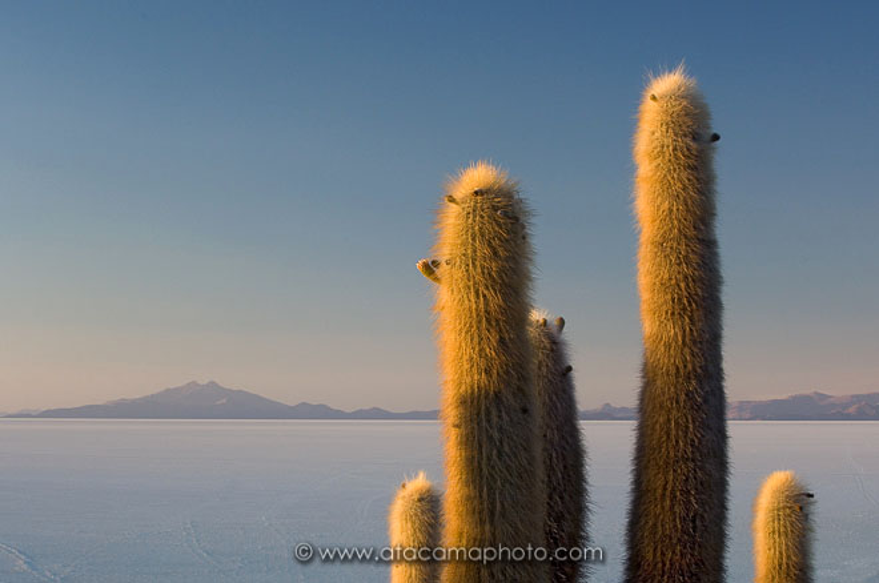 Giant Cardon (Echinopsis atacamensis pasacana) cacti, Salar de Uyuni