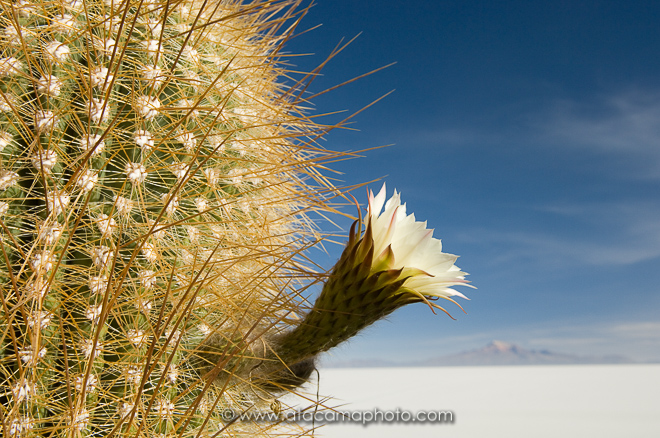 Close up of cardon cactus flower (Echinopsis atacamensis pasacana), Salar de Uyuni, Bolivia