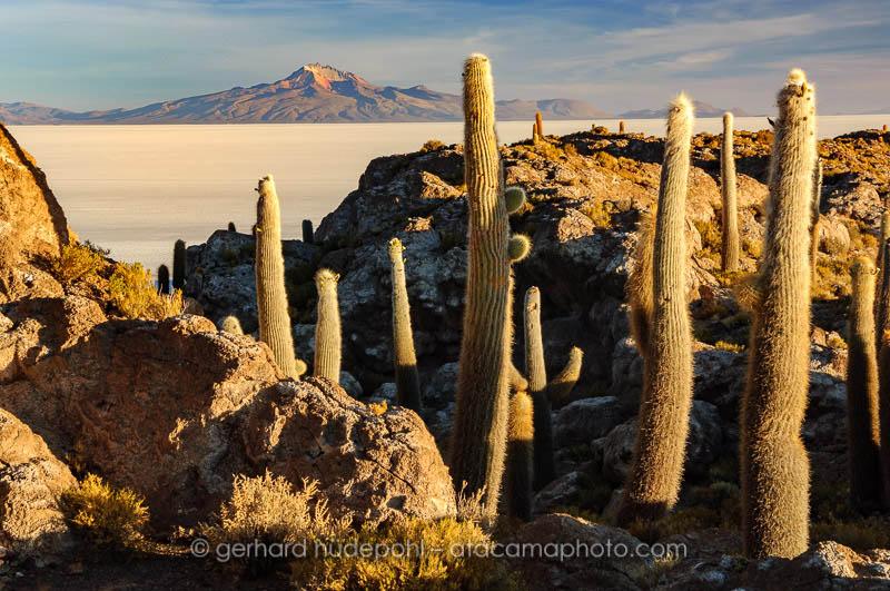Giant Cardon cactus (Echinopsis atacamensis pasacana) on Isla del Pescado in evening light, Salar de Uyuni, Bolivia
