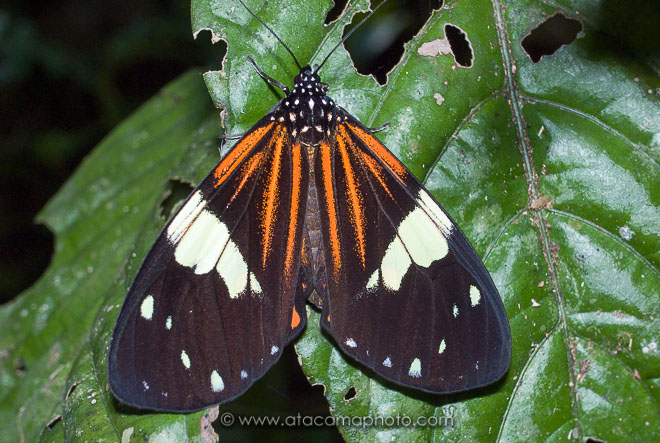 Heliconius butterfly, Amazon rainforest, Madidi national park
