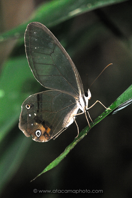 Glasswing butterfly, Madidi National Park Bolivia