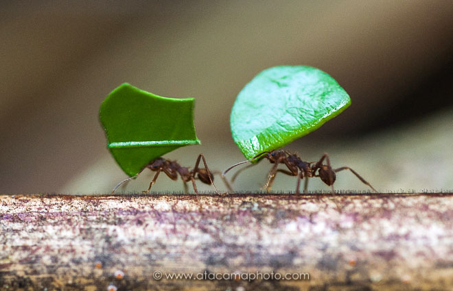 Preview leaf_cutter_ants_at_madidi.jpg