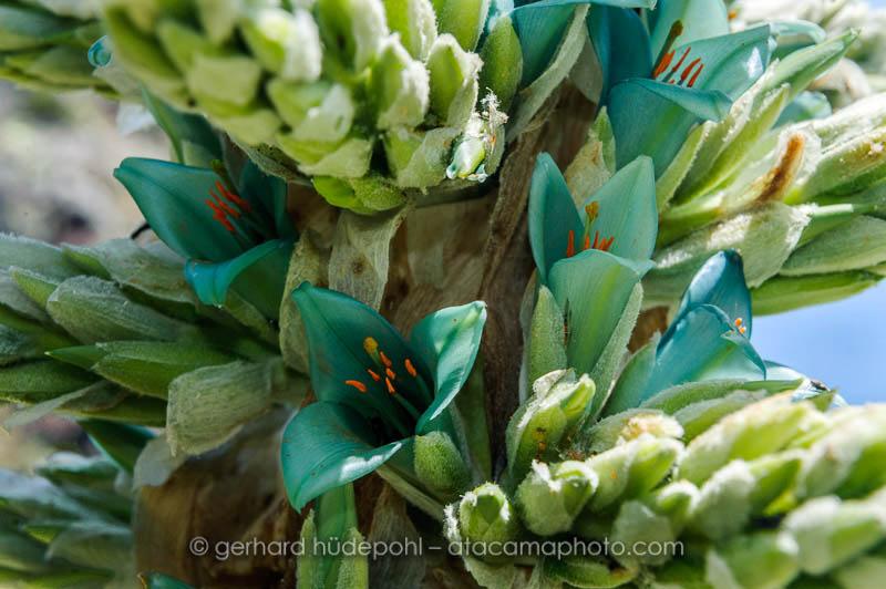 Blue-green flower of Puya berteroniana, a bromeliad of Chile