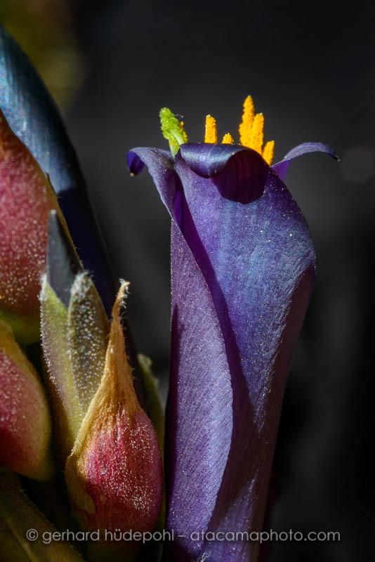 Blue Puya coerulea flower at Rio Clarillo reserve, Santiago de Chile region