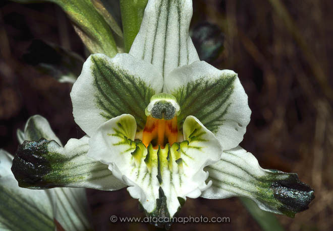 Chloraea bletioides is an endemic orchid of the central zone of Chile