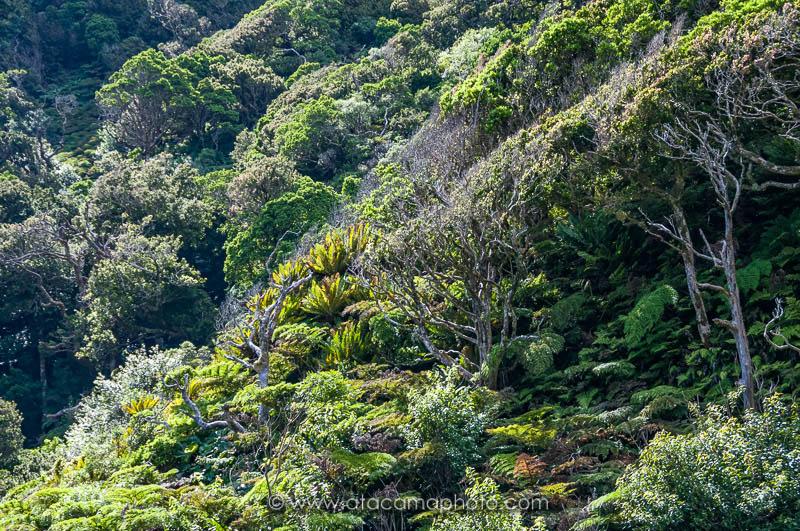 Dense endemic vegetation of Juan Fernandez archipel, Robinson Crusoe island, Chile