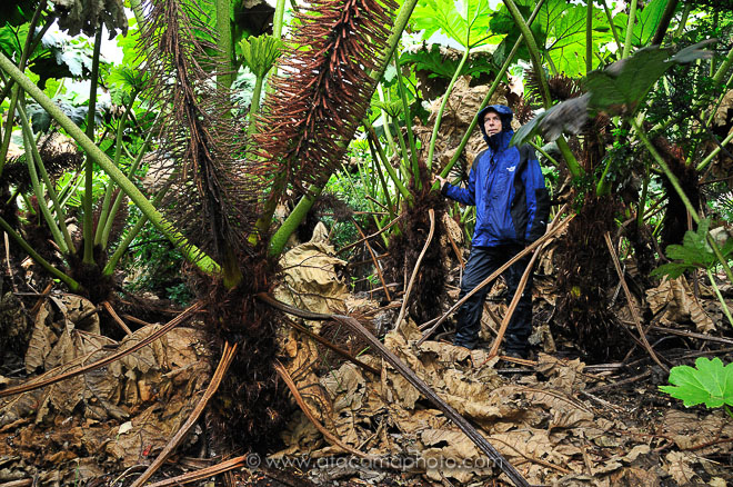 A person under giant Nalca plant leaves on Robinson Crusoe Island, Chile