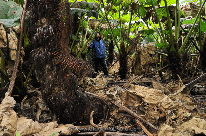 Hiker in a forest of giant endemic Nalca plants on Robinson Crusoe Island