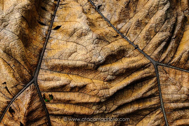 Dry leaf of endemic giant nalca plant (Gunnera masafuerae), Robinson Crusoe Island