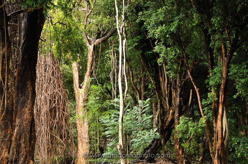 Native forest trees of Robinson Crusoe Island