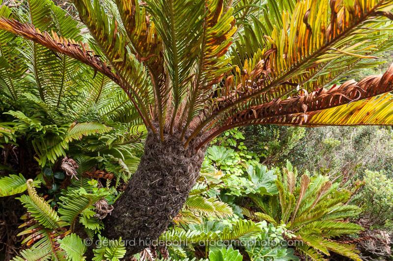 Endemic tree fern of Robinson Crusoe Island, Blechnum cycadifolium