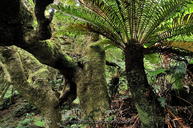 Typical native moss covered forest with endemic tree fern of Isla Robinson Crusoe