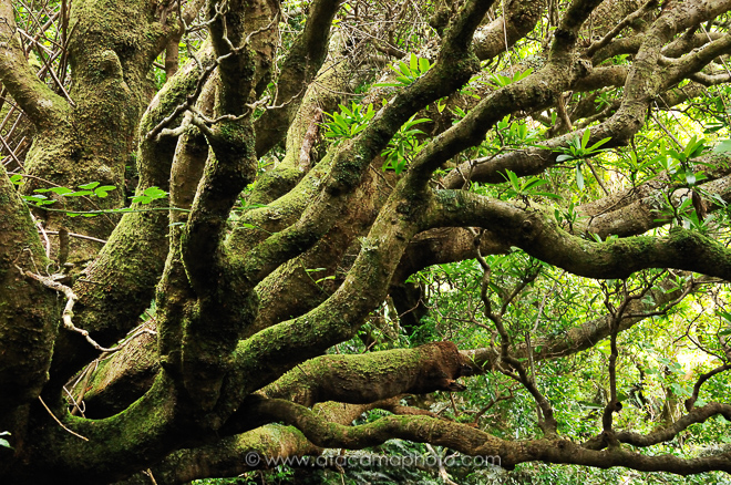 Dense forest with moss covered trees, Robinson Crusoe Island