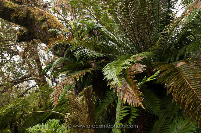 Dense native forest of Robinson Crusoe Island with endemic tree ferns and mosses