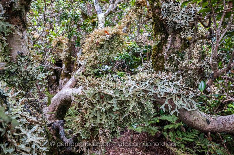 Trees are overgrown with lichens, Robinson Crusoe island, Juan Fernandez archipelago, Chile