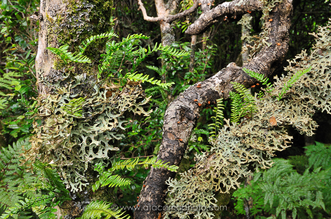 Trees are overgrown with lichens and fern, Robinson Crusoe Island