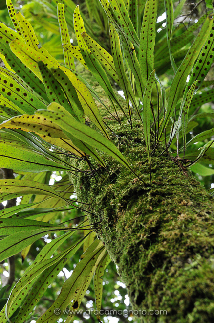 Moss and ferns epiphyts are abundant in the forests of Juan Fernandez island, Chile