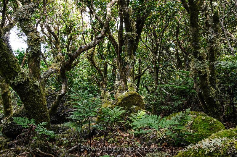 Dense native forest on Robinson Crusoe Island, Juan Fernandez archipelago