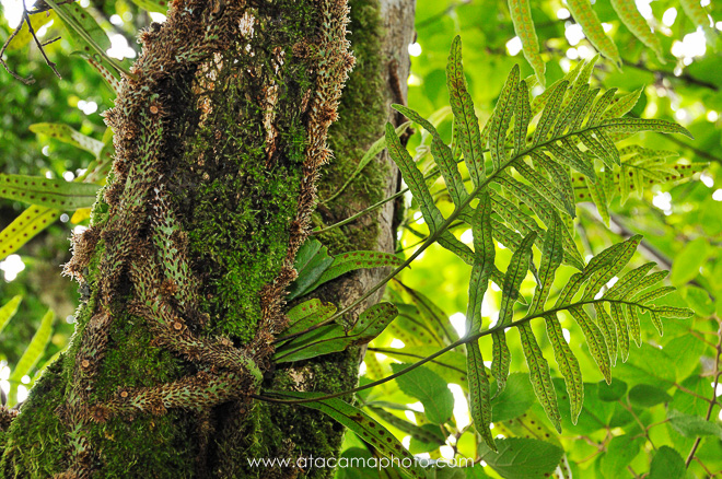 Fern and moss growing on a tree, Robinson Crusoe Island endemic flora
