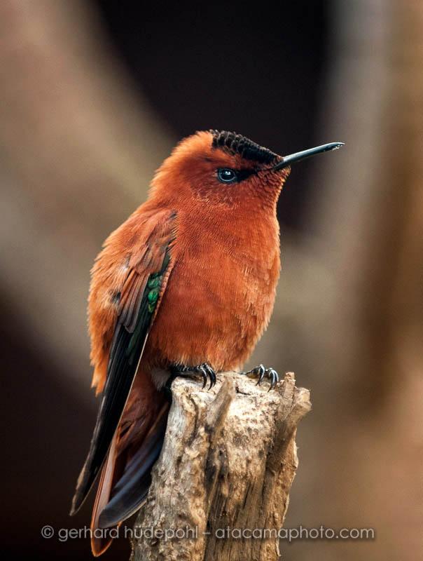 Juan Fernandez Firecrown endemic hummingbird of Robinson Crusoe Island, Chile