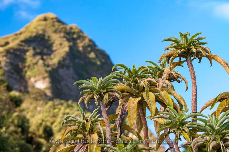 Dendroseris pruinata, an endemic plant of Robinson Crusoe island, Chile