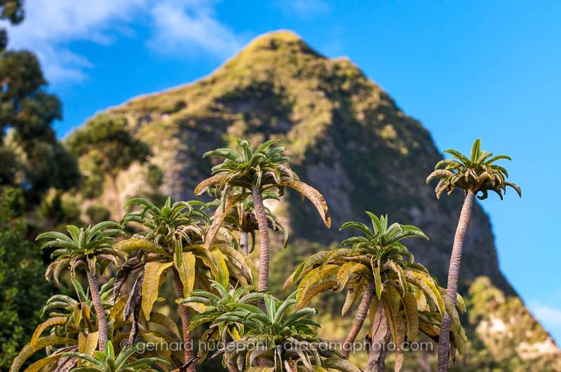 Dendroseris pruinata, an endemic plant of the Juan Fernandez archipel, Chile