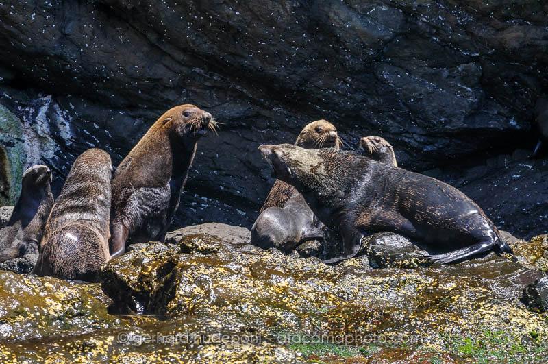 Juan Fernandez Fur Seals (Arctocephalus philippii) at Robinson Crusoe Island, Chile