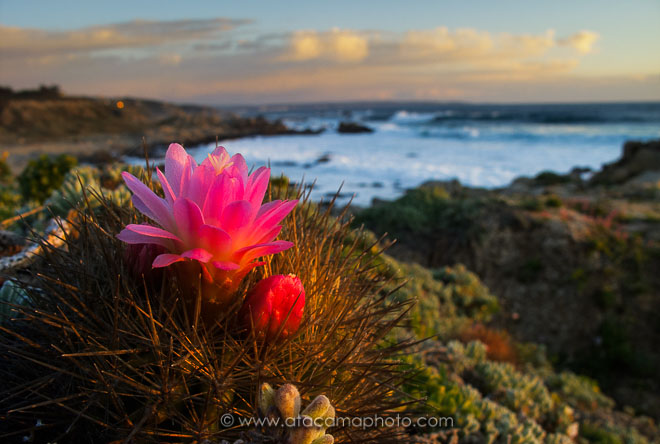 Eriosyce subgibbosa cactus with red flower at to coast of Tunquen, Chile