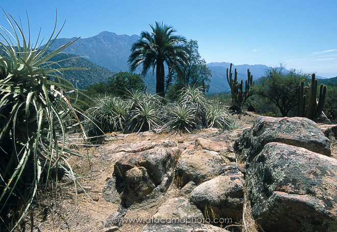 La Campana National Park with Chilean Palm and Puya, Chile