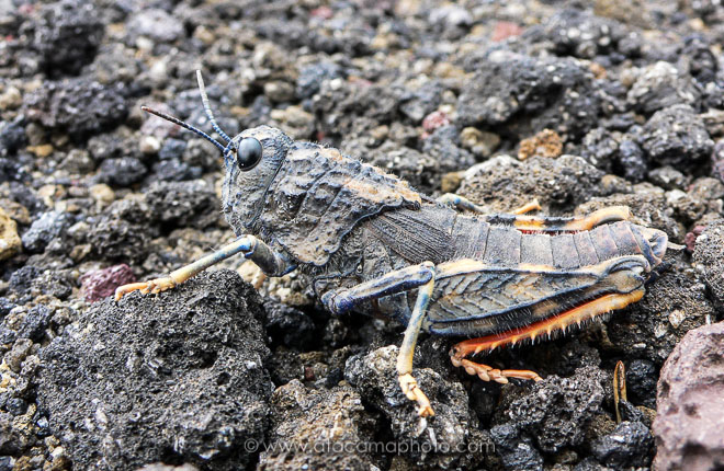 Camouflaged grasshopper on volcanic rock, Antuco volcano in Chile