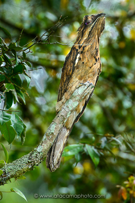 Common Potoo (Nyctibius griseus), a bird that resembles a dry branch of a tree, Ecuador