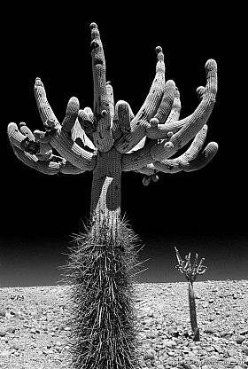Black and white: Giant Candelabre cactus at Atacama desert, Putre Chile