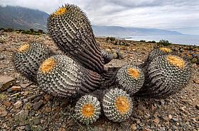 Copiapoa cinerea ssp. haseltonia at the coastal desert near Taltal, Atacama desert