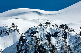 Monkey Puzzle trees (Araucaria araucana) in the snow covered slopes of Llaima volcano, Chile