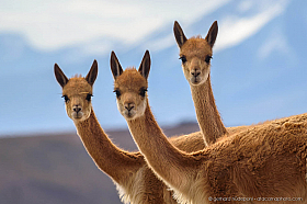Three curious Vicunas looking at the camera, Altiplano of Chile