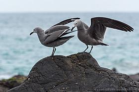 Gray gulls (Larus modestus), Pan de Azucar National Park