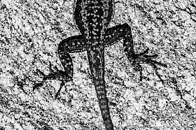 Black and White: Lava lizard on granite rock at the coast of the Atacama Desert