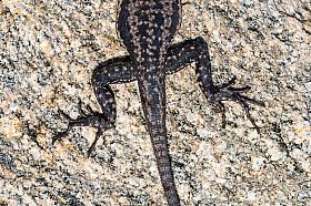 Lava lizards (Microlophus atacamensis) are found along the coast of the Atacama