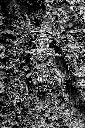 Long horn beetle on a tree, well camouflaged. Tambopata Reserve. Black and white