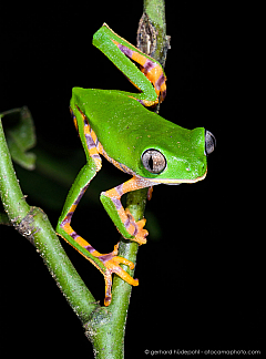 Tiger-striped leaf frog (Callimedusa tomopterna), Tambopata Peru